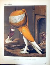 Old Birds Fulton Wright C1880 Cassell Yellow-Pied Pouter Cock Pigeon Victorian