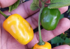 Rocoto Manzano Yellow - An Unique Chilli that is Really Different from Others!!!