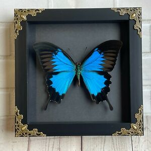 Blue Mountain Swallowtail Butterfly (Papilio ulysses) Baroque Box Display Frame