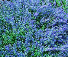 CATMINT BLUE Nepeta Mussinii - 1,250 Bulk Seeds