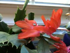 10 christmas cactus cuttings- red, pink,white and lavender