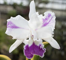 Cattleya moscombe with variegated leaves Orchids