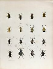 Original Antique Entomology Lithograph – Beetle Plate (1854)
