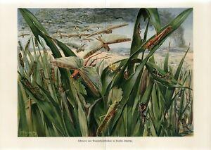 1890 LOCUST GRASSHOPPER ATTACK Antique Chromolithograph Print P.Flanderky