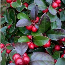 American Wintergreen Seeds (Gaultheria Procumbens) 30+Seeds