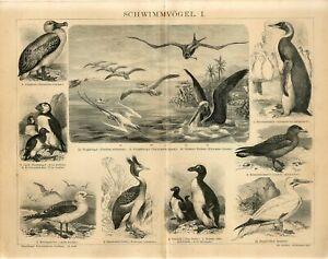 1882 PELICAN PUFFIN PENGUIN ALBATROSS RAZORBILL BIRDS Engraving Print F.Specht
