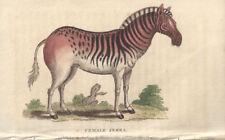 Female Zebra (Quagga) - Antique Africa animal engraving print, 1799