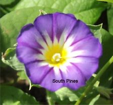 Ensign Mix Morning Glory - 50 seeds - Convolvulus Tricolor - Great for planters
