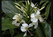 HAWAIIAN WHITE GINGER- HEDYCHIUM CORONARIUM-  2 ROOTS -STARTER ROOT- Fragrant