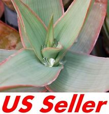 15 Seeds F106 Aloe Striata Seeds, Beautiful and Special Plants