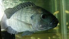 12 Blue Tilapia fry PURE STRAIN (1 to 1.5 inch) for Aquaponics
