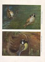 VINTAGE BIRD PRINT ~ GREAT-TIT ~ CRESTED-TIT