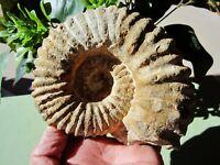 Rough AMMONITE ( Goat Horn ) Large Ammonoidea Fossil Morocco 800g