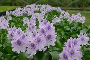 14 PURPLE, (insect free) Floating Water HYACINTHS (Pond Filter) Free Shipping