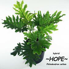 ~HOPE~ Split-leaf Philodendron Great House Plant 6-12+inch Potd 10 Sm PLANTS