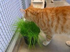 Cat grass BULK, Catgrass Dactylis  50,000 seeds BEST VALUE PACK fresh seeds