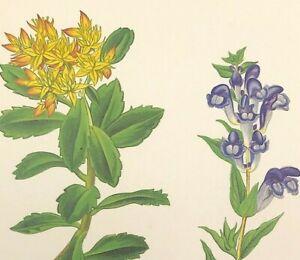 Botanical STONECROP & SKULL CAP woodblock print by Wooster 1872 original