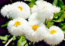 Seeds flowers Bellis perennis Snow White garden Ukraine