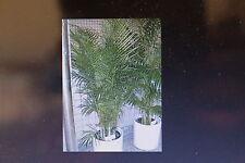 10 Samen Goldfruchtpalme,Dypsis lutescens#423