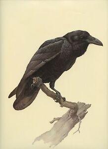 J F Lansdowne COMMON RAVEN wild bird illustration 1977 vintage art print