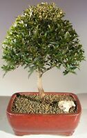 "Large Cherry Bonsai Live Tree Eugenia Myrtifolia Pink Blooms 13 y.o 11"" tall"