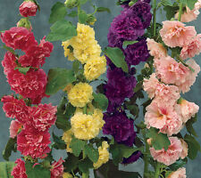 Alcea rosea Chaters Double Mix 15 seeds