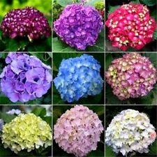 10+ HYDRANGEA MIX PERENNIAL FLOWER SEEDS / BLOOMS LAST 2 MONTHS