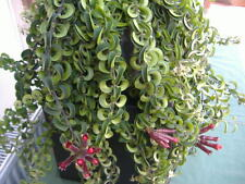 "WOW !THE ""TWISTER"" A BEAUTIFUL TRAILING LIPSTICK VINE (AESCHYNANTHUS )"