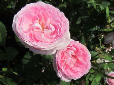 QUEEN ANNE - 5.5lt Potted David Austin Shrub Garden Rose - Pale Pink, Fragrant