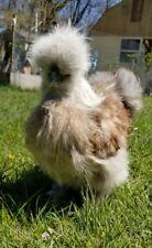 Bantam Silkie chicken hatching eggs