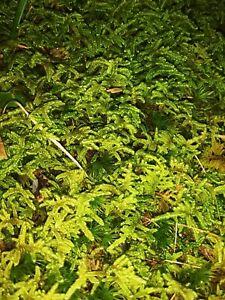 Live Fern Moss - (Two)  1 Quart bags for Terrarium Vivarium Bonsai Reptile