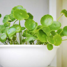 50pcs copper grass pilea seeds cold water flower indoor aquatic plant bonsai F5Y