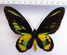 Ornithoptera rothschildi ssp.roths. biform ,M,RARE ,Irian Jaja INDONESIEN  5/11