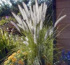 Extragroße Jumbopflanze, Hohes Lampenputzergras, Auch schön zum Schnitt