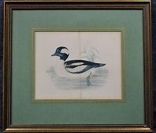 Kupferstich, altkoloriert,Buffel Headed Duck, Ente,etwa 1870