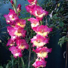 Gladioli - Gladiolus (Mixed ) Flower Bulbs x 10  -  EARLY BIRD SALE Free Post