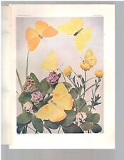 """1904 Colored Art Print Engraving Of  """"6 Yellow Butterflies""""  Free Shipping"""