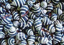 50 Beehive Seashells Natural Tiny Black White Shells Crafts Jewelry Nautical