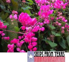 Antigonon Leptopus, Coral Vine, Queen'S Wreath, Easy Everblooming Vine, 40 Seeds