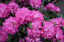 Rhododendron roseum 50 seeds