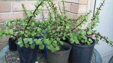 Dry Climate Evergreen Medium Watering Plants & Seedlings