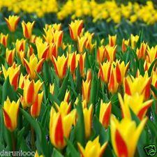 6 TULIPANI Giuseppe Verdi GIARDINAGGIO Lampadina bellissima primavera estate Fiore perenni