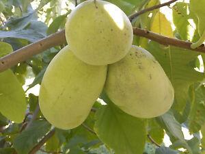 Flan Apple, Pata , Indio Banana Asimina Triloba Raro Resistente Fruta, 8-10cm
