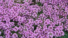 CREEPING THYME FLOWER SEEDS - BULK - 5,000 SEEDS