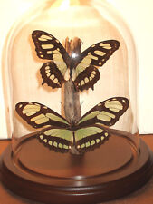 Malachite and Dido Butterfly Dome