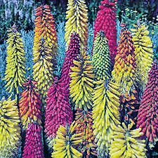RED HOT POKER SEED KNIPHOFIA STANDARD MIXED COLOURS HARDY FLOWER BULK 160 SEEDS