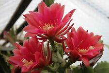 """Epiphyllum Blattkakteen Epicactus /""""Pulheim rosa/"""" Steckling"""