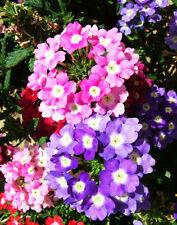 Verbena Seeds 50 Seeds Verbena Hybrida Verbena Tenera Flower Garden Seeds A066
