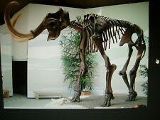 MAMMOTH Pleistocene AGE BONE LARGE GREAT CONDITION