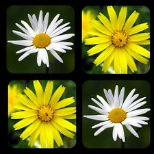 "Daisy 1/4"" Thick Rubber Coaster Set of 4"